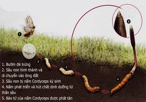 Quá trình hình thành đông trùng hạ thảo thiên nhiên