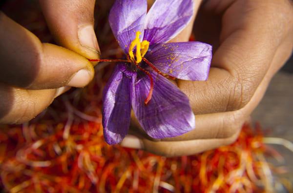 Nhụy hoa nghệ tây – Saffron 2