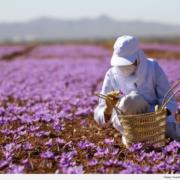 Nhụy hoa nghệ tây – Saffron 4