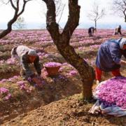 Nhụy hoa nghệ tây – Saffron 5