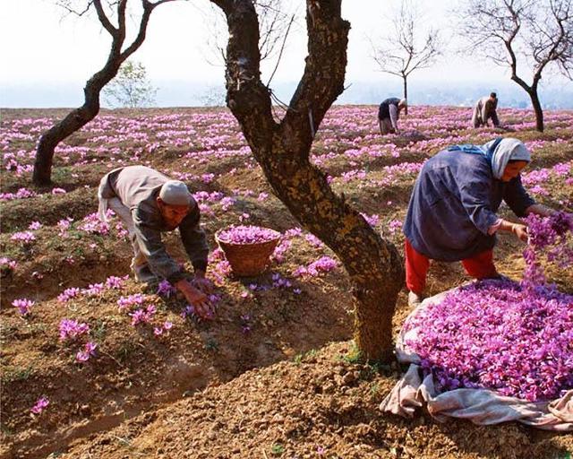 Nhụy hoa nghệ tây - Saffron 5