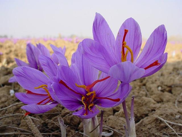 Nhụy hoa nghệ tây - Saffron 6