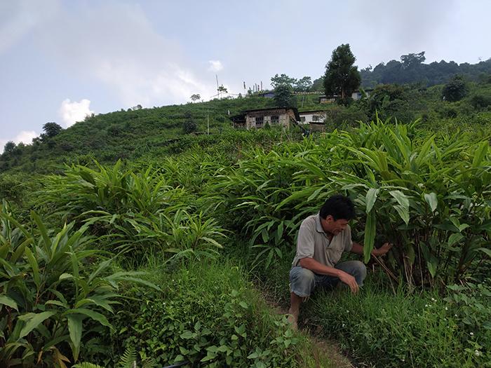 cây bạch đậu khấu ở Bhutan